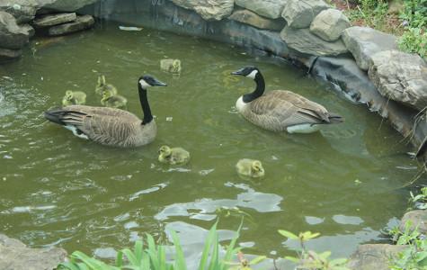Five Goslings Meet Tragic End