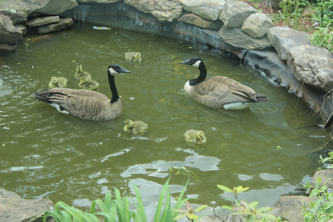 Five Goslings Meet Tragic End