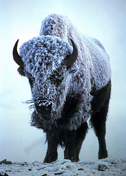 Last year, Dr. Hardis responded to Max's email with this photo of a Bison in the snow. Image by Steve Maslowski via Wikimedia Commons.